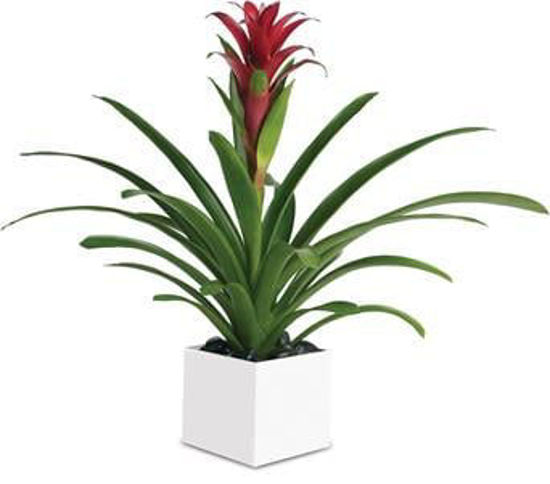 Picture of Bromeliad Beauty
